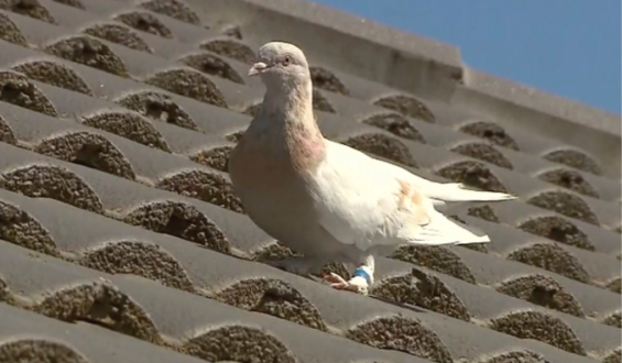 """Pigeon arrives in Australia after traveling from US: Pigeon named """"Joe"""" in the US to coincide with Biden's victory"""