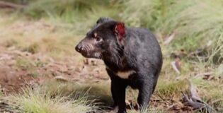 Tasmanian devils born on Australian mainland after 3,000 years