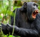 The first record of a chimpanzee attack on a guerrilla